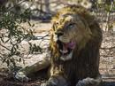Kẻ săn trộm tê giác bị voi giẫm chết, sư tử ăn thịt