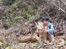 """Gần 2 hecta rừng bị phá, chỉ cách kiểm lâm 500m nhưng """"không biết""""?"""