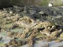 Nuôi cá sấu thu lãi tiền tỉ