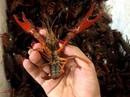 Tôm hùm đất Trung Quốc được rao bán tràn lan
