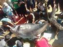 """Khánh Hòa: Bắt cá ngừ đại dương """"khủng"""" nặng 386 kg"""