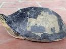 """Hết rắn và trăn """"khủng"""", người dân An Giang lại phát hiện rùa lạ hiếm"""