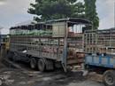 Phát hiện xe tải chở heo chết nhiễm dịch tả châu Phi vẫn đem đi bán