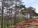 Hàng ngàn hecta rừng thông phòng hộ chết đứng