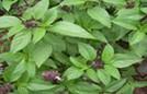 Vì sao nhà nào cũng nên trồng 1 cây húng quế?