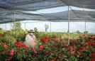 Hoa hồng Sa Đéc cháy hàng trước Tết