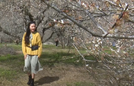 Mùa hoa mơ trắng trên cao nguyên Mộc Châu