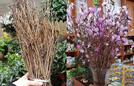 Sự thật về hoa đỗ quyên ngủ đông ở Hà Nội
