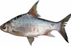 Cá duồng bay, đặc sản Đồng Nai là sinh vật thế nào?