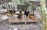 """Giải cứu chó Xoáy Phú Quốc từ quán """"cầy tơ"""""""
