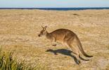 5 điểm đến để ngắm kangaroo