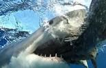 Ba loài cá mập nguy hiểm nhất thế giới