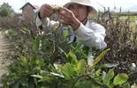 Video: Nghề nhặt lá mai mùa giáp Tết