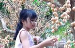 Cần Thơ mùa dâu da trĩu quả
