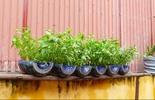 Cách trồng rau muống đơn giản nhất tại nhà