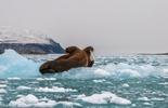 Ngắm hải mã vùng băng giá