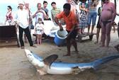 Cá mập ở Nha Trang không nguy hiểm