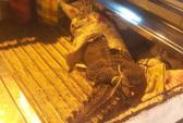 TP HCM: Cá sấu rơi giữa đường Nguyễn Thị Minh Khai