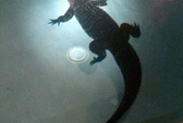 Hoảng hồn thấy cá sấu trong hồ bơi gia đình