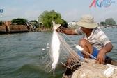 Ngư dân đánh lưới được nhiều cá bông lau to