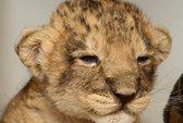Cảm động sư tử con bảo vệ xác mẹ