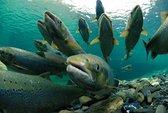 Hạn nặng, Mỹ chở 30 triệu con cá hồi ra biển