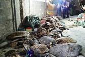 Phát hiện 2 cơ sở tàng trữ 4.000 xác rùa biển