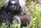 Khỉ đực tuyệt vọng ôm ấp bạn tình phút hấp hối