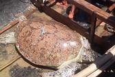 Thả rùa biển có nguy cơ tuyệt chủng về biển