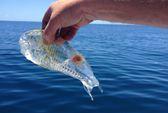 Tìm thấy sinh vật trong suốt kỳ lạ ở biển New Zealand