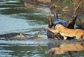 Sư tử đại chiến cá sấu giành xác chết hà mã