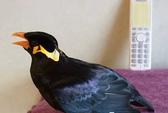 Con chim nói tiếng Nhật như người