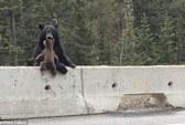 Thót tim cảnh gấu mẹ giải cứu con khỏi đường cao tốc