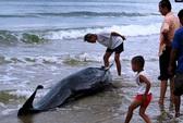 Quảng Bình: Đưa cá voi nặng 1,5 tạ trở về biển khơi