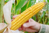 Mỹ bắt vợ tỉ phú Trung Quốc vì ăn cắp hạt giống