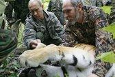 Hổ quý của ông Putin vượt biên sang Trung Quốc