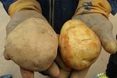 Tiểu thương kể chuyện biến khoai tây Trung Quốc thành Đà Lạt