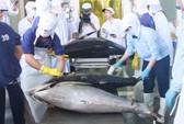 Lô cá ngừ Bình Định đấu giá thành công tại Nhật