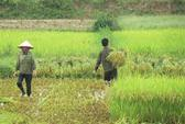 Một nông dân bị sét đánh chết khi đi thu hoạch lúa