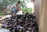 Nông dân Đà Lạt sống khỏe nhờ cà tím Thái Lan