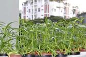 Vườn rau trên ban công 12 m2