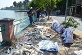 Cá chết trắng hồ Tây do ô nhiễm?