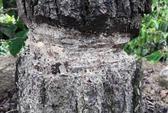 """""""Bức tử"""" rừng thông ở Lâm Đồng"""