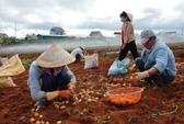 Lâm Đồng hỗ trợ cho khoai tây Đà Lạt