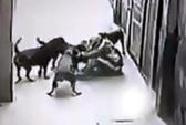 Chủ bị 4 con chó tây 30-40 kg tấn công kinh hoàng