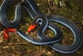 Điều chế thuốc giảm đau từ nọc rắn cực độc