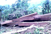 Truy bắt 17 đối tượng chặt 2 cây gỗ quý hơn 30m3