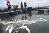 Xác định nguyên nhân cá chết hàng loạt trên sông Chà Và