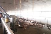 Heo chăn nuôi theo tiêu chuẩn VietGAP