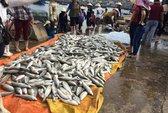 Thanh Hóa: Hơn 47 tấn cá nuôi chết bất thường